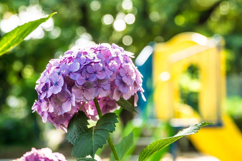 白山公園的紫陽花