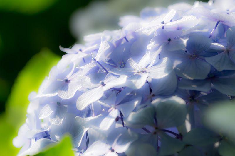 白山公园的紫阳花