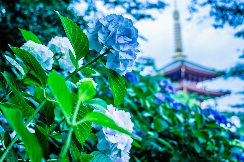 Hydrangeas and the five-storied pagoda in Takahata Fudo-son Temple