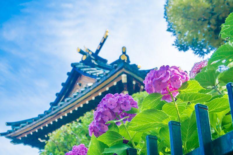 白山神社和紫陽花