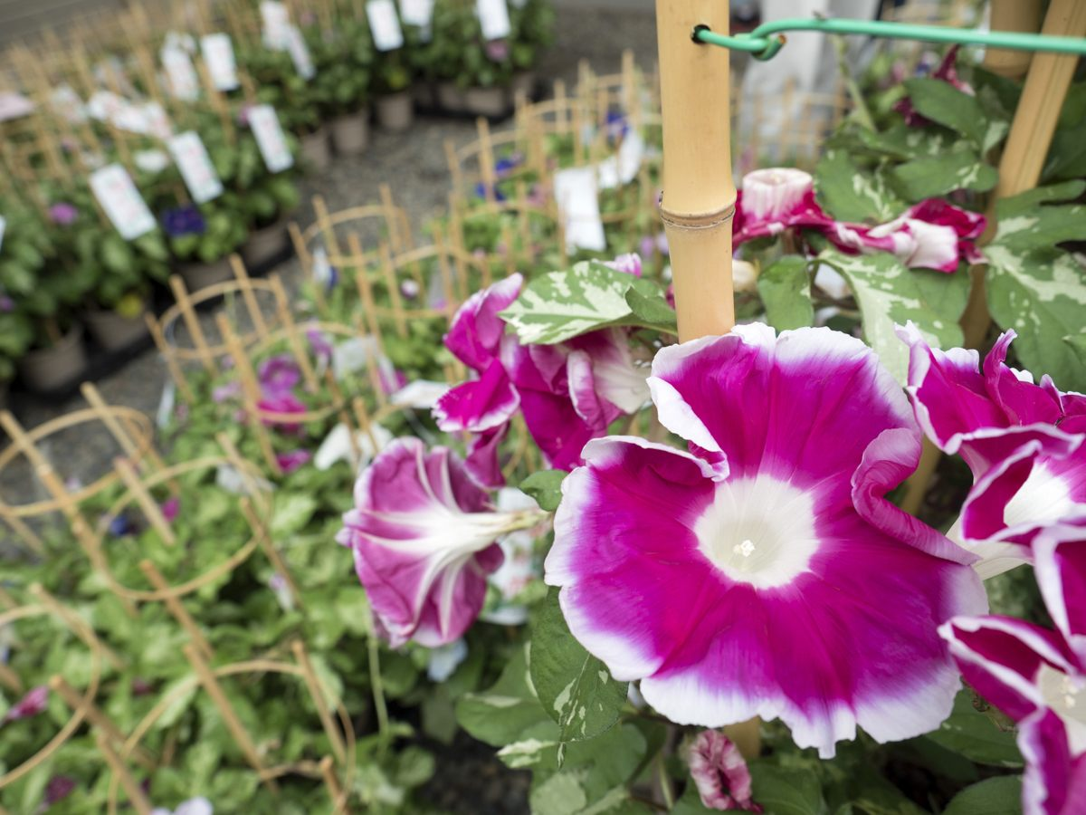 Asagao (morning glory), a favorite of the Japanese