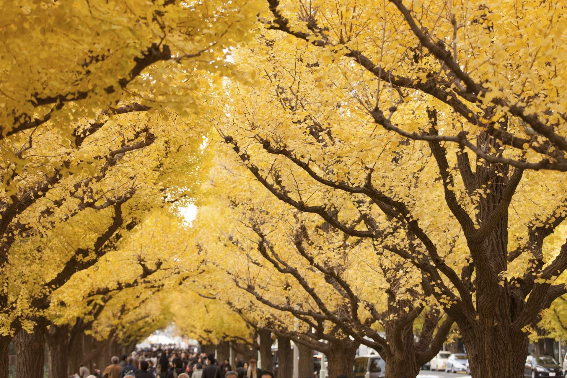 金黄色般闪耀的银杏隧道