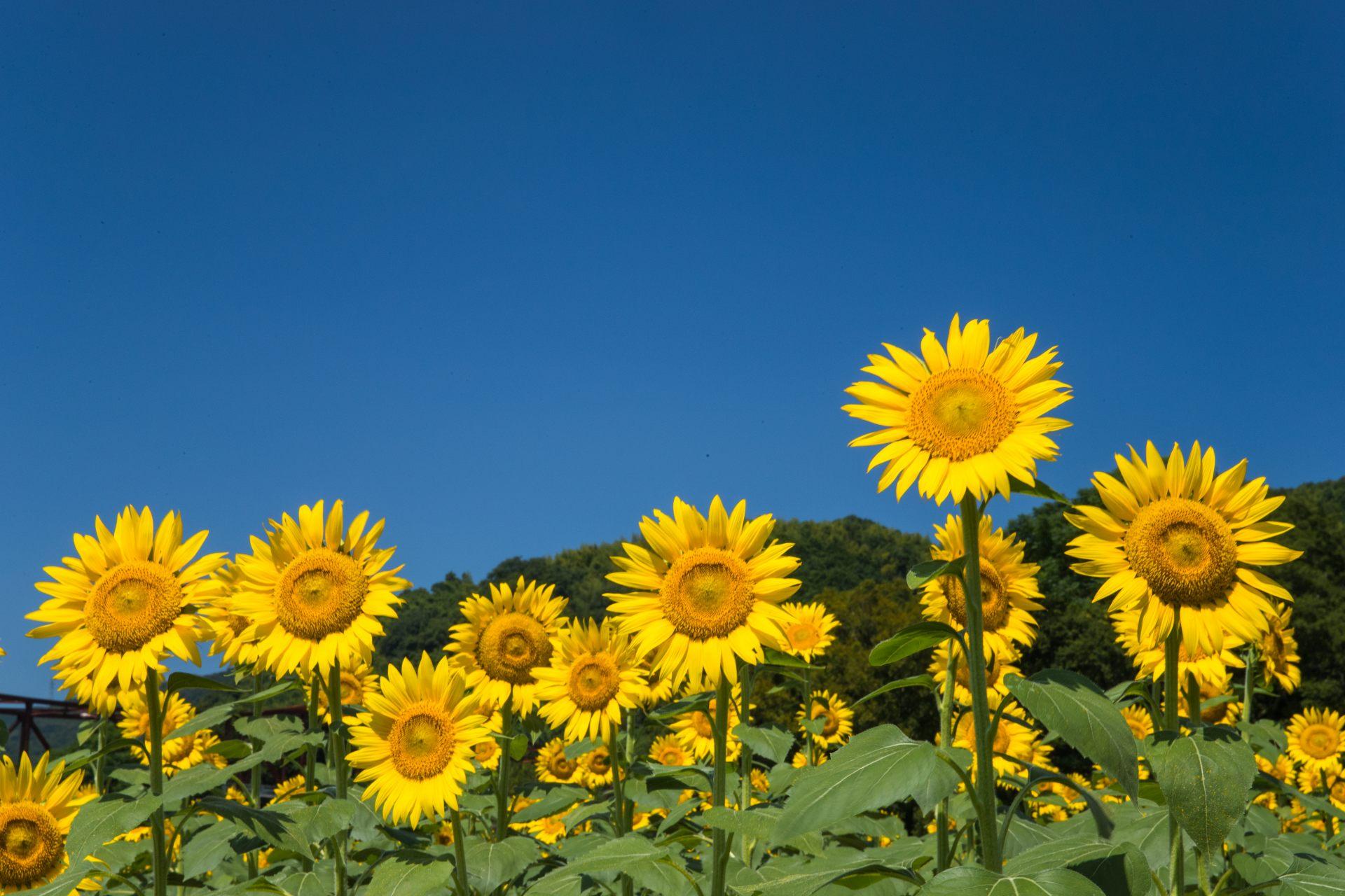 秋天裡向日葵競相盛開的「館矢間向日葵祭」