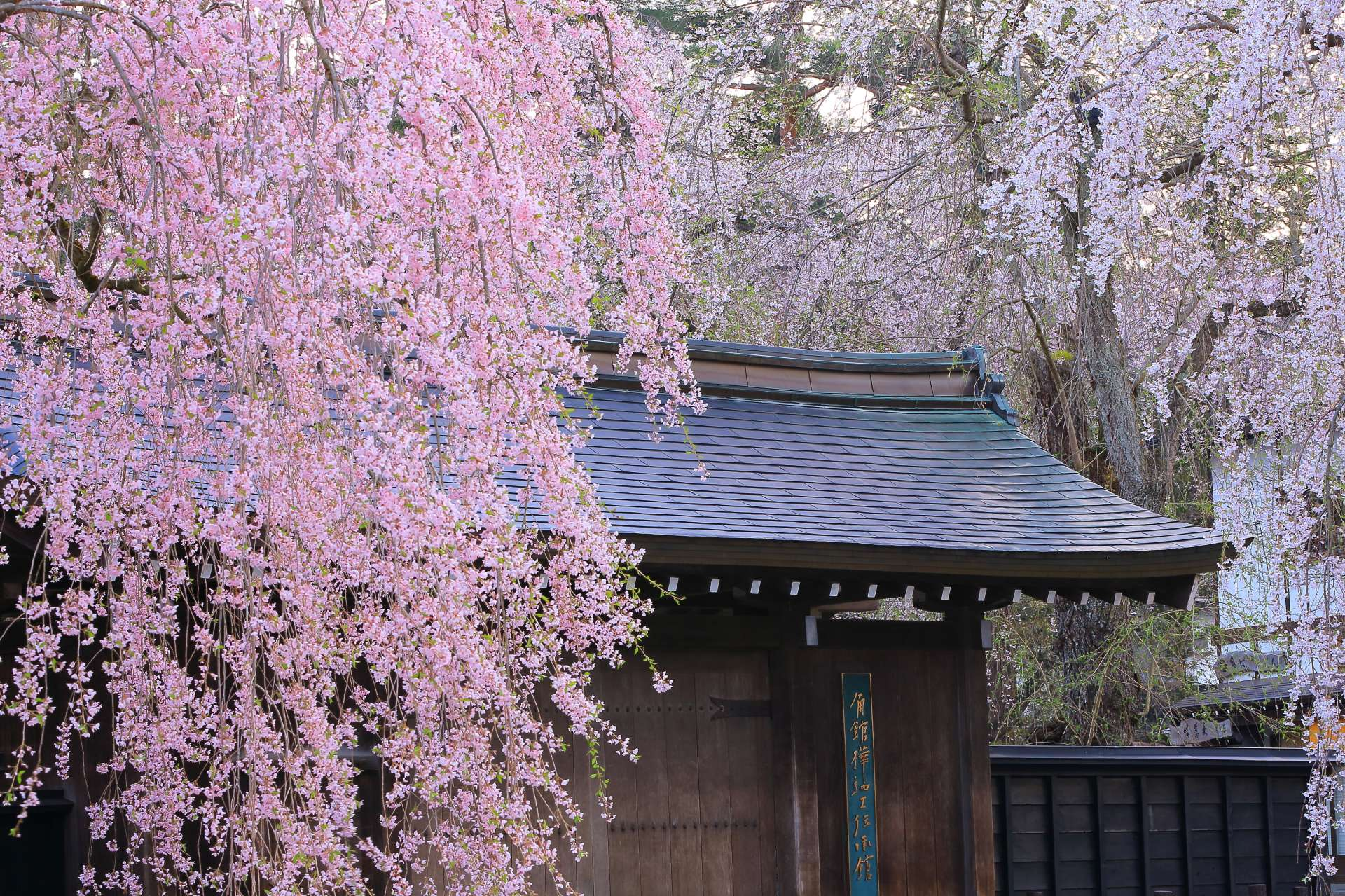 Kakunodate Birch Craft Densho-kan in the flowering season of cherry