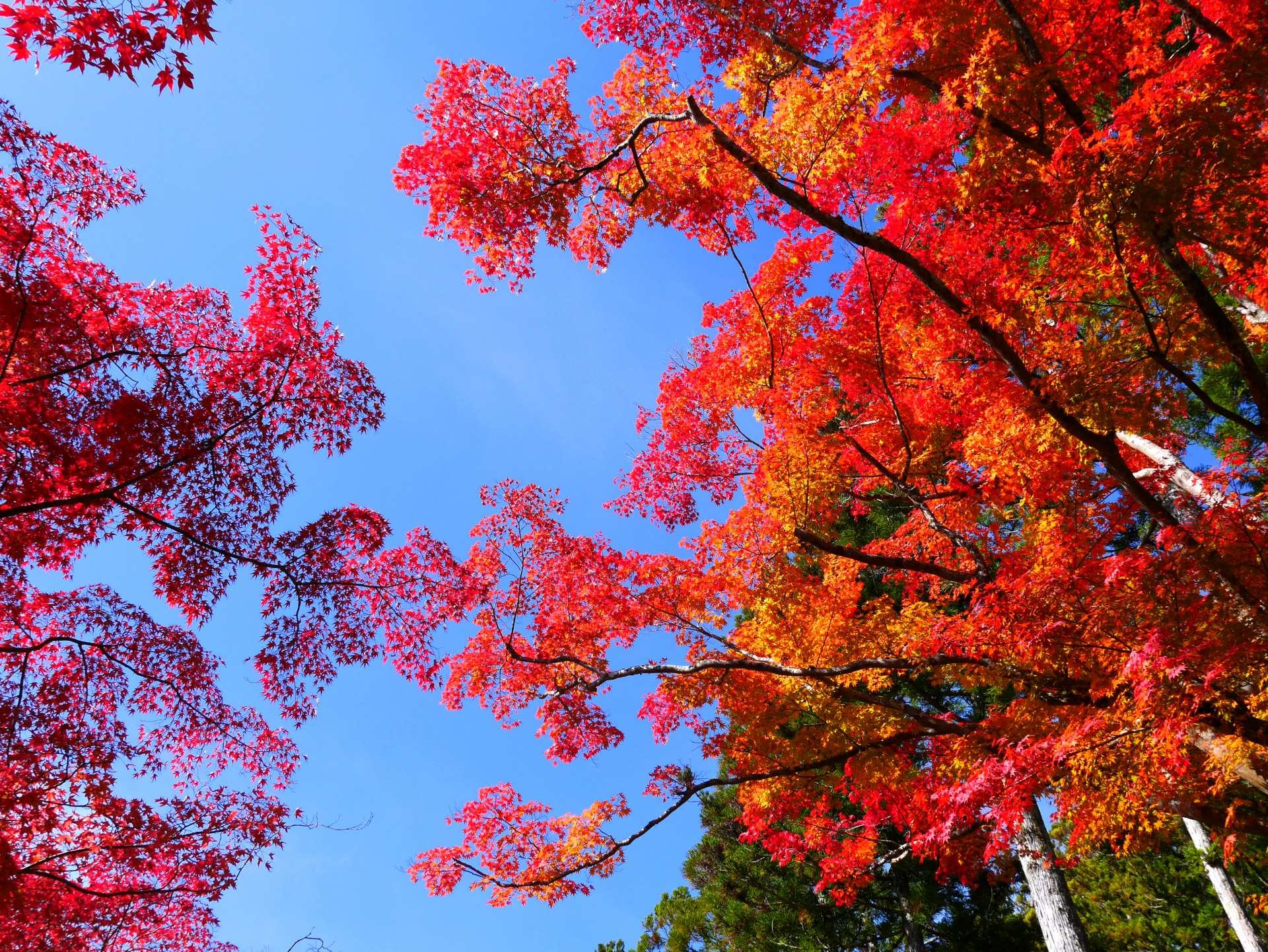 紅黃交織的秋葉