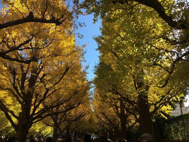 明治神宫外苑的银杏并木通