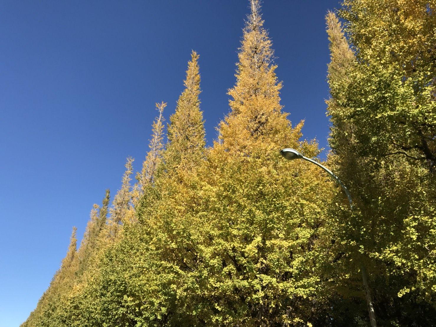 蔚蓝的天空和直冲天际的银杏树