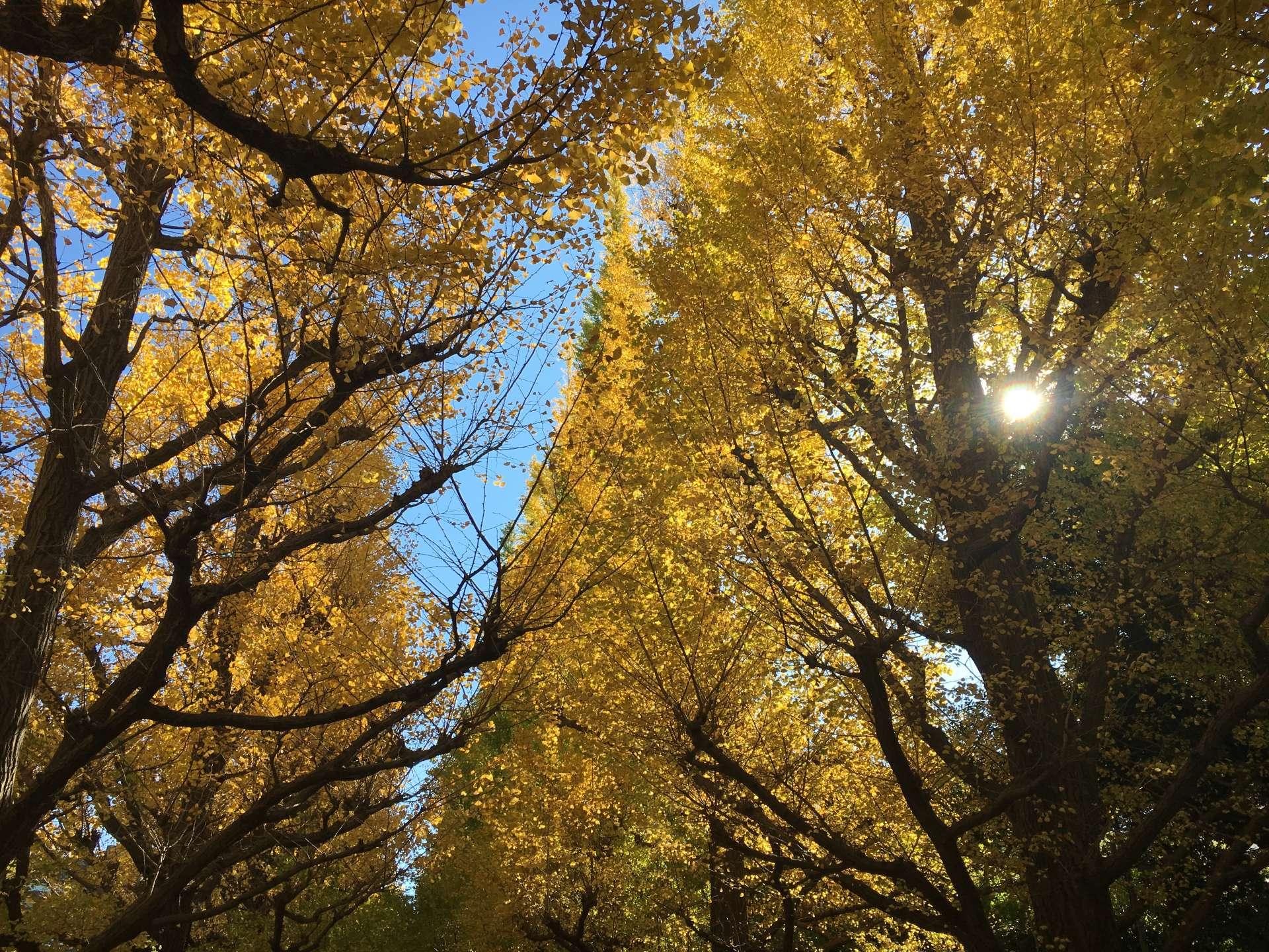 阳光下金光闪闪的银杏树
