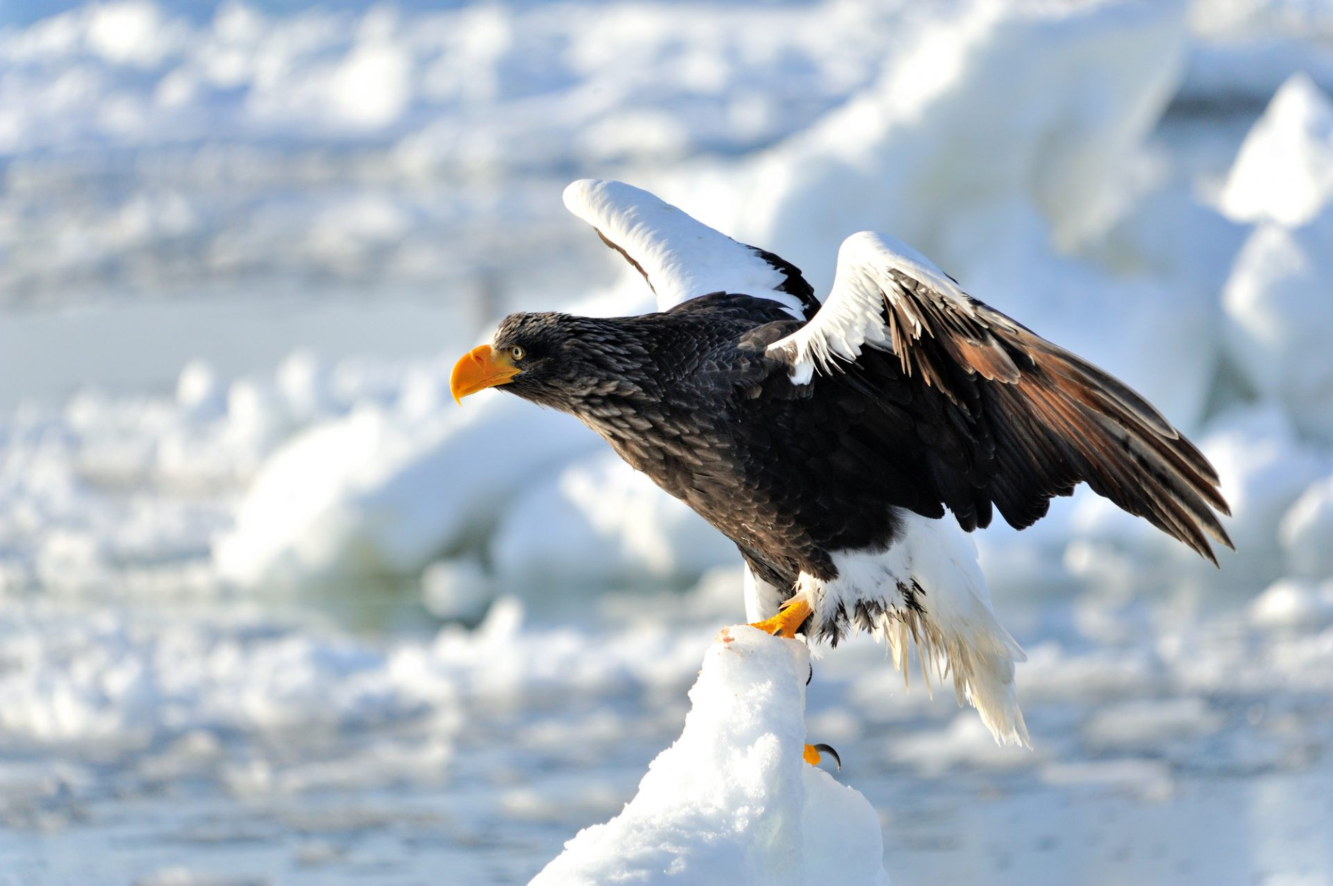 The exquisite form of the Steller's sea eagle that visits during the season of ice