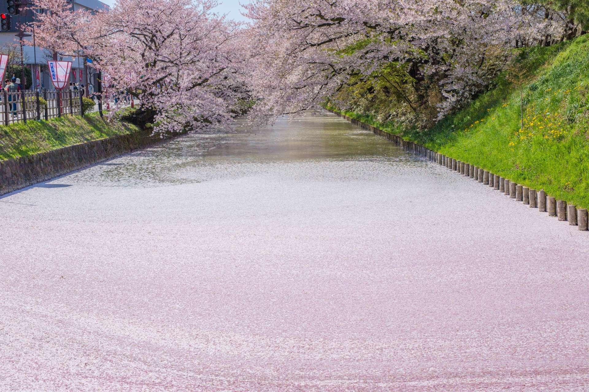 落下的花瓣將水面染成了粉紅色