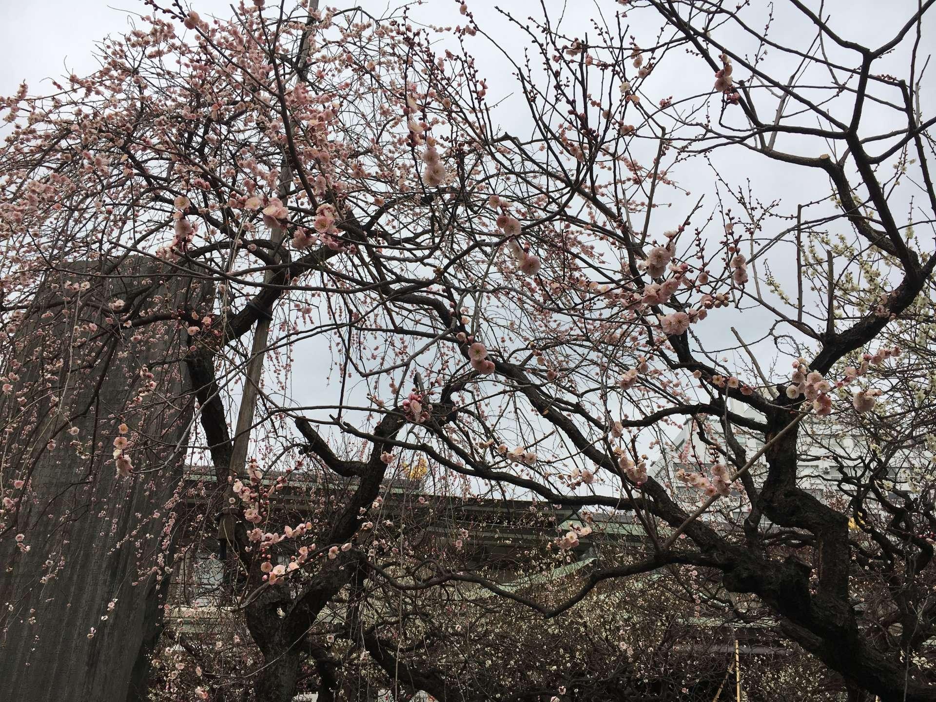 粉紅色的枝垂梅