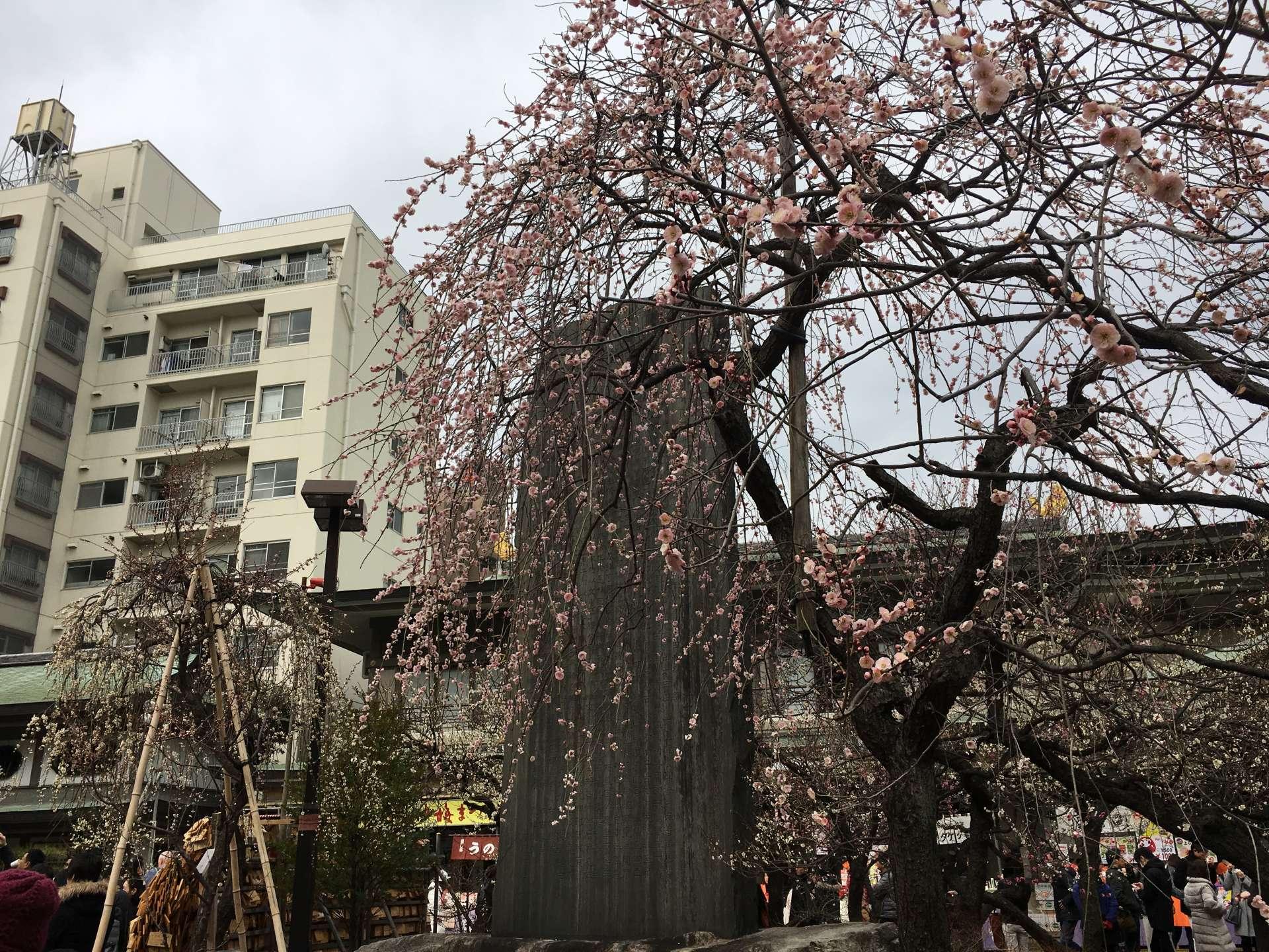 凜洌的寒風中傲然綻放的枝垂梅