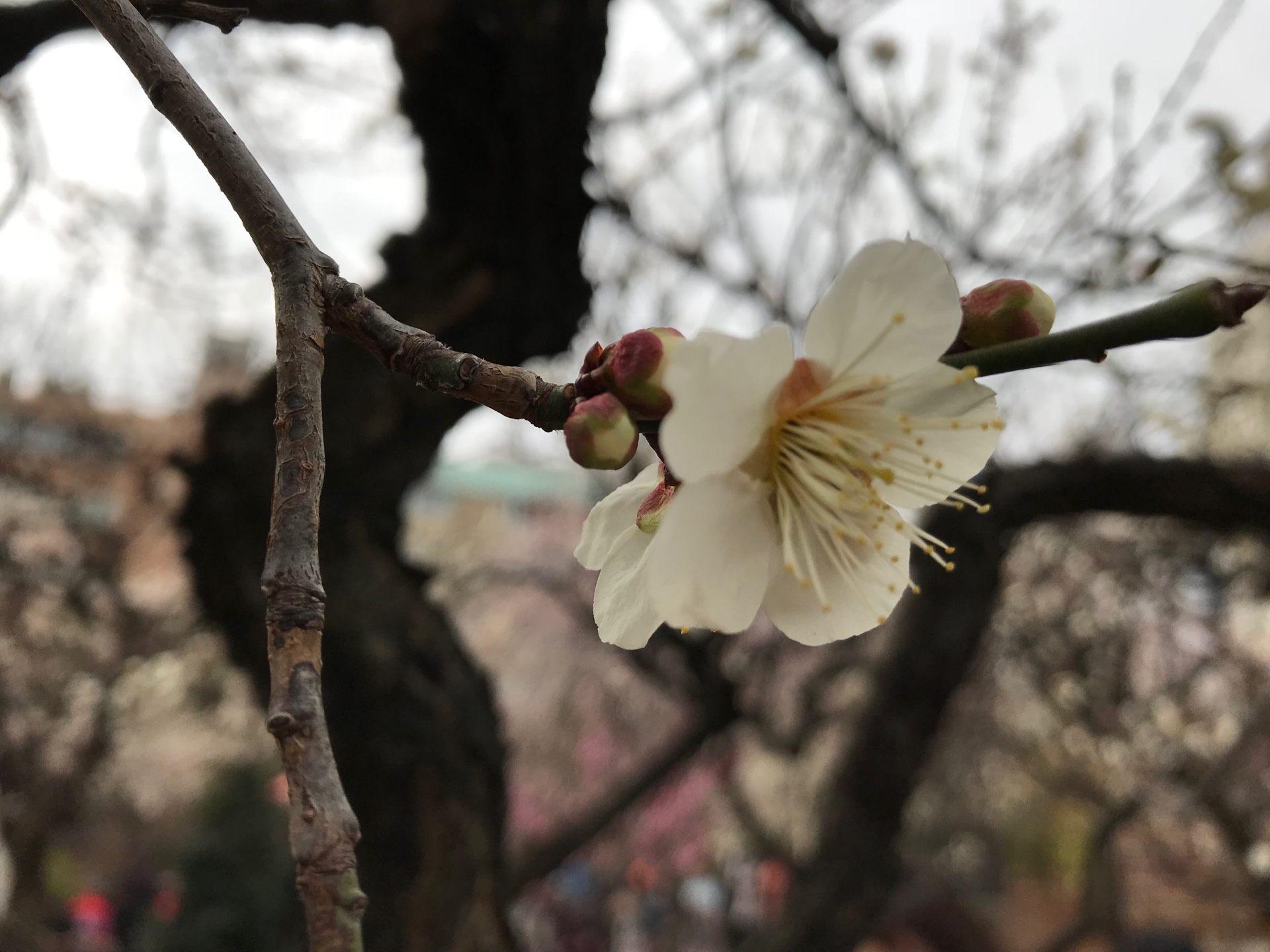 梅花有五個花瓣
