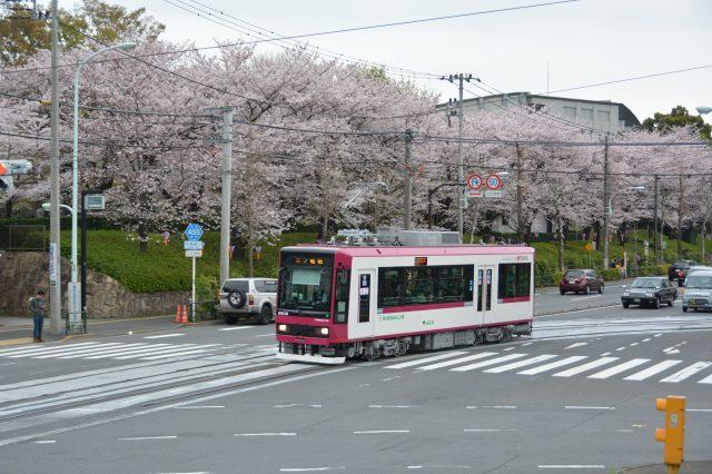 搭乘可爱的路面电车享受春天。使用「都营通票」来拟订赏樱的观光计画♪