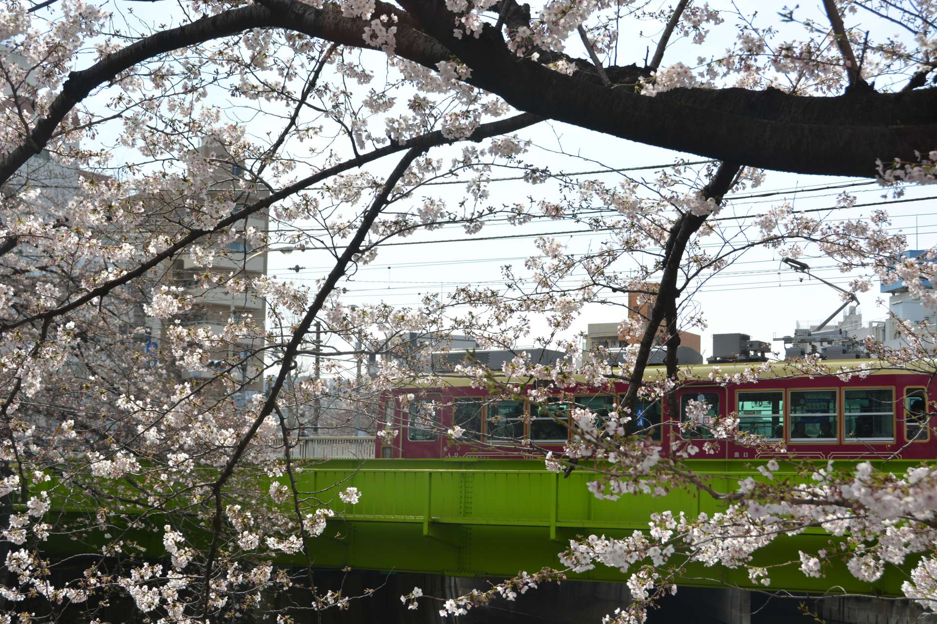 The beautiful scenery of cherry blossoms and a Toden