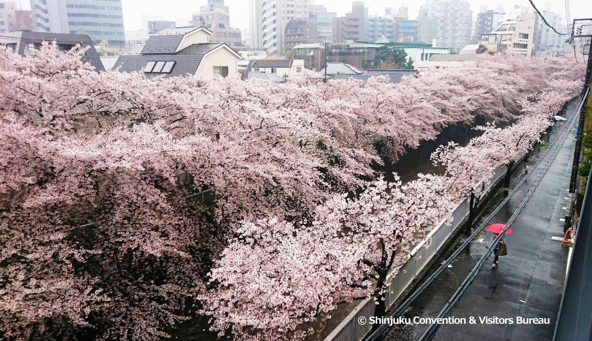 神田川上盛開的櫻花