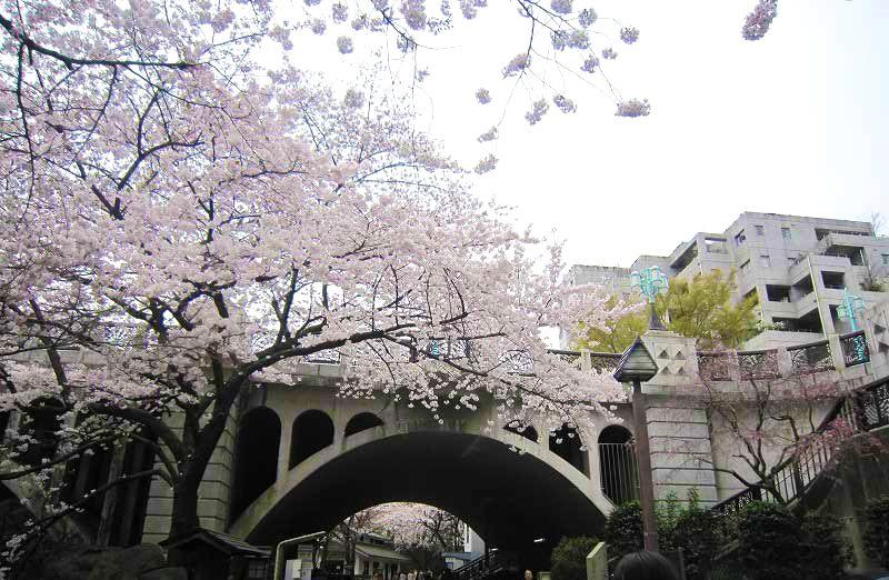 美麗的拱形音無橋與漂亮櫻花的完美搭配
