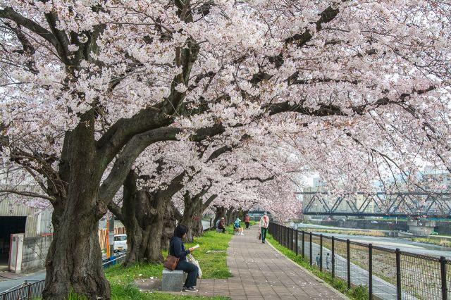 仿佛像是樱花走廊一般