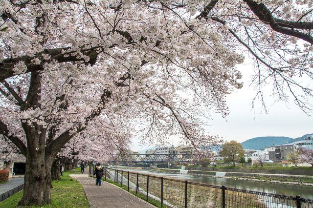 彷彿像是櫻花走廊一般