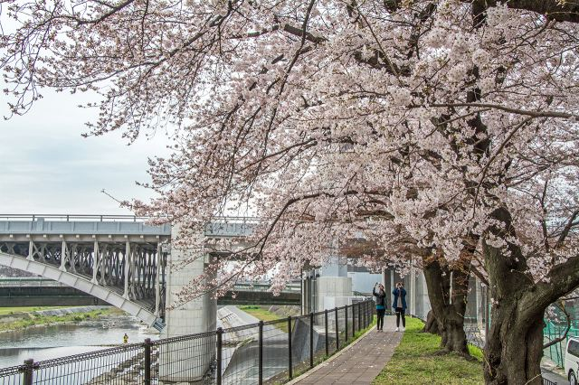鴨川河岸兩旁都開滿了櫻花