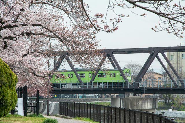 京都賞櫻景點-鴨川櫻花走廊