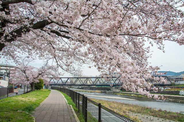 河畔櫻花走廊