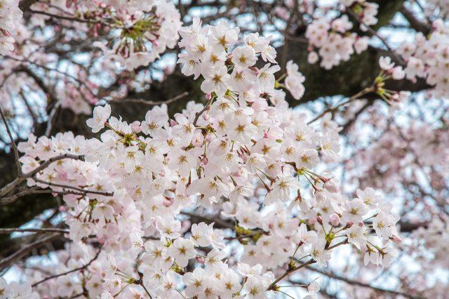 接近白色的淡粉色櫻花