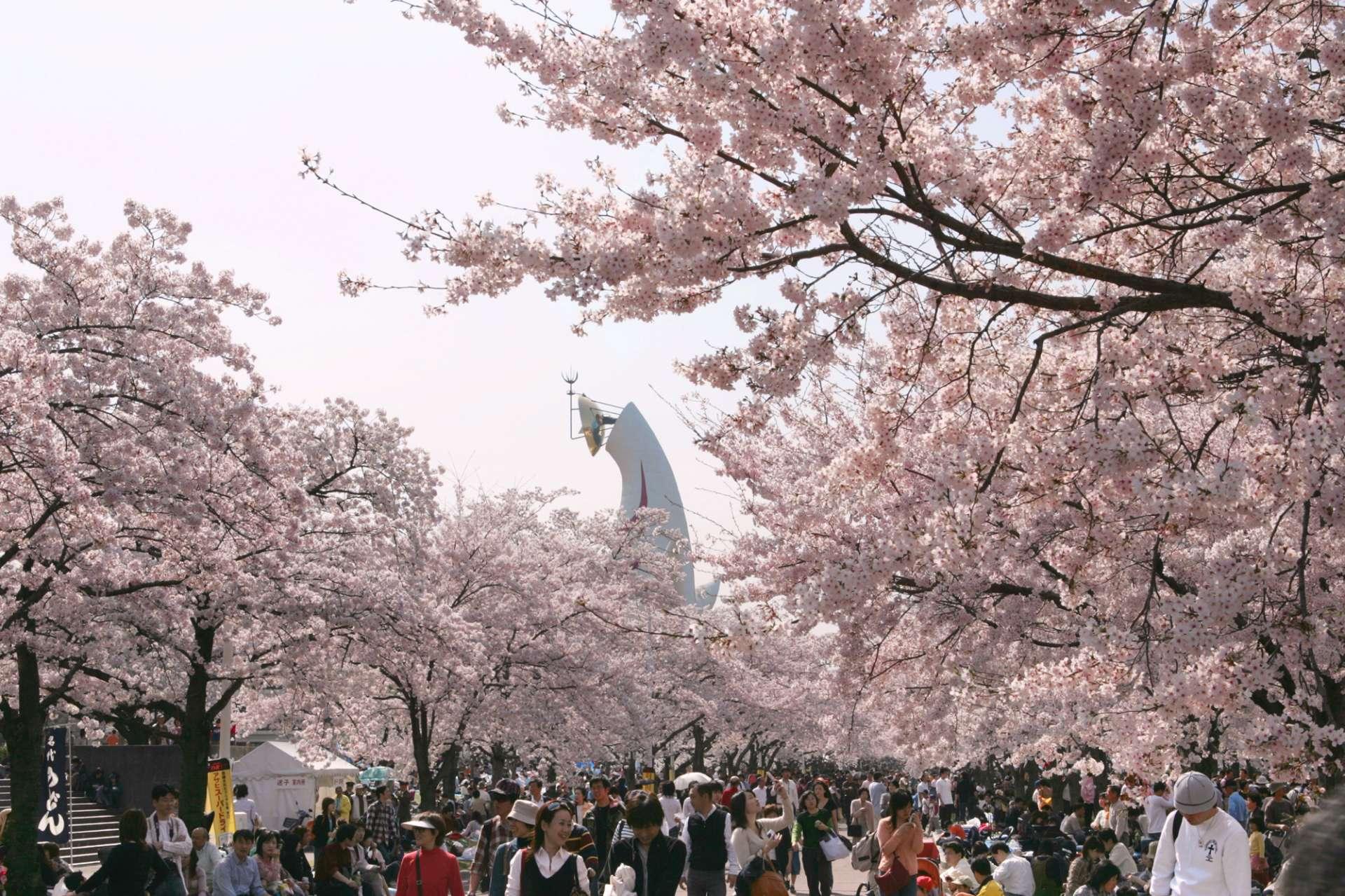 能欣賞約5,500棵櫻花的萬博紀念公園