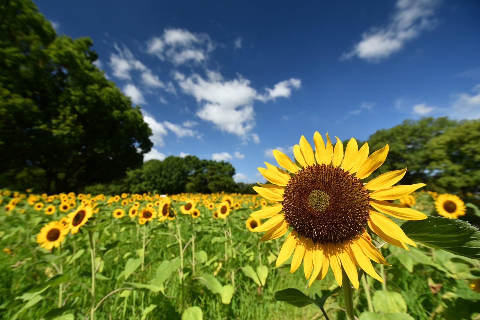 在萬博紀念公園內盛開了約1萬朵向日葵,給大家滿滿元氣
