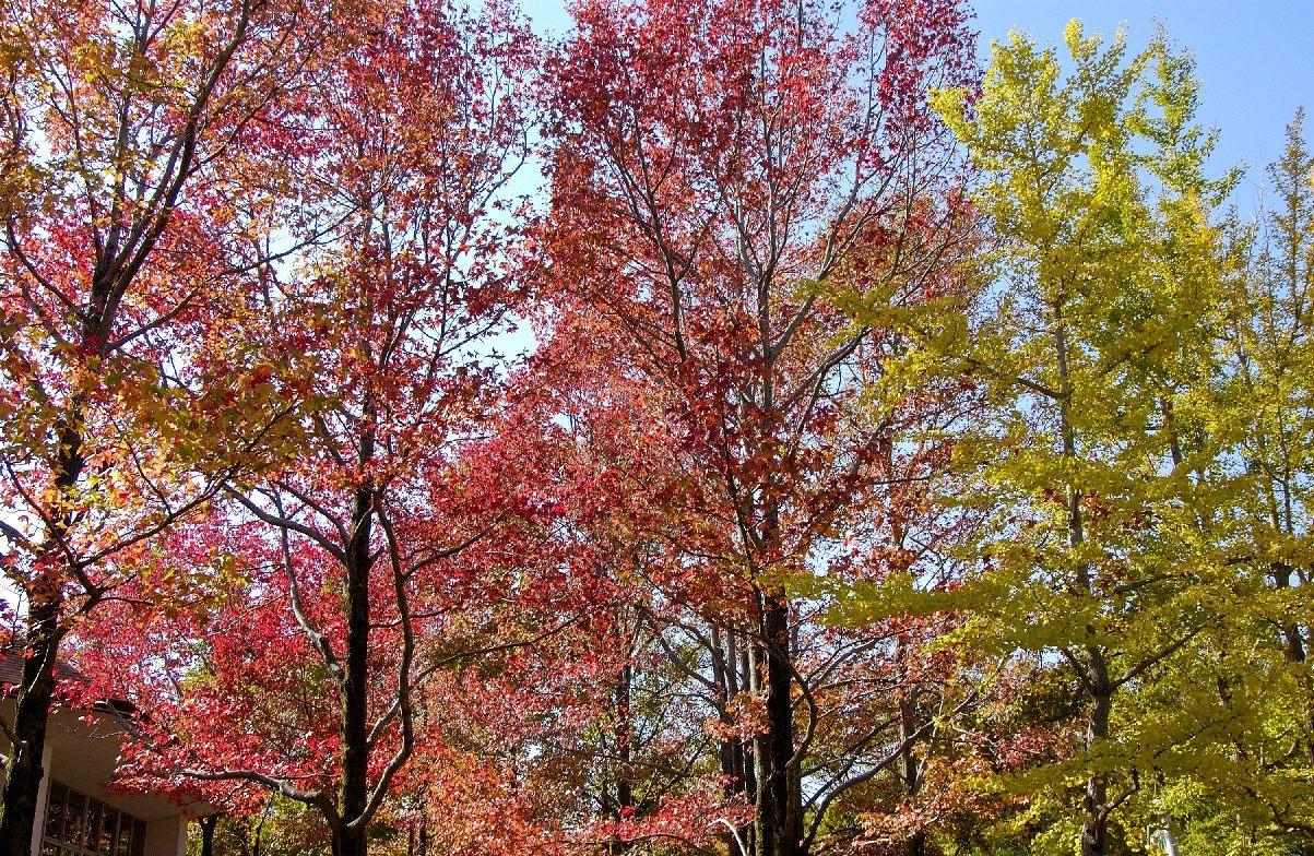 又大又紅的葉子是美國楓香的特徵(地點:自然觀察學習館周邊)