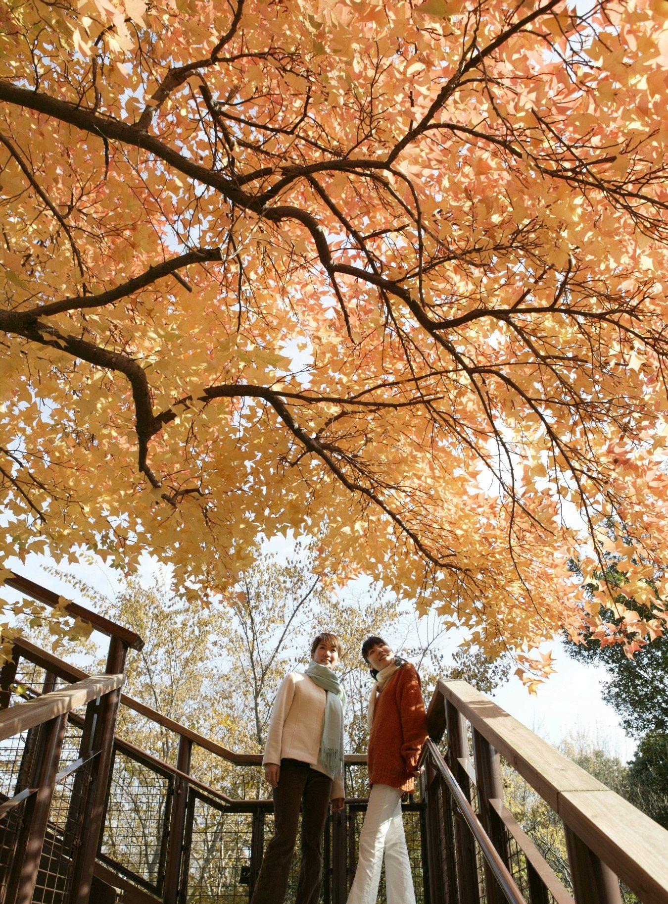 黃色的銀白楊林(地點:森林空中觀察路)