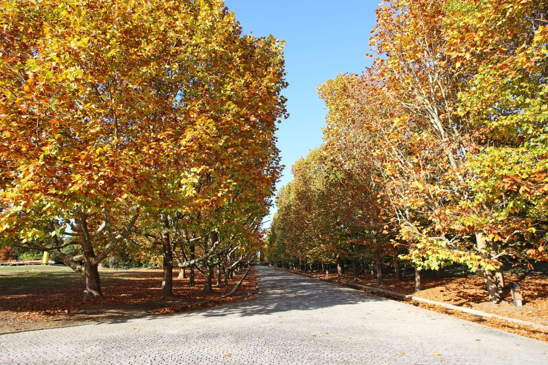 一大片被染成黃色的懸鈴木非常壯觀美麗(地點:西大路)