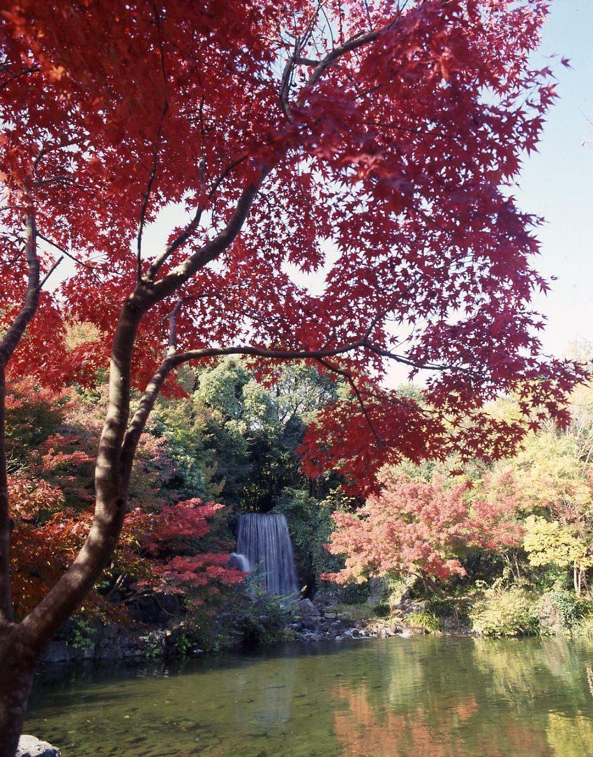 一大片紅色楓樹(紅葉)的「紅葉瀑布」