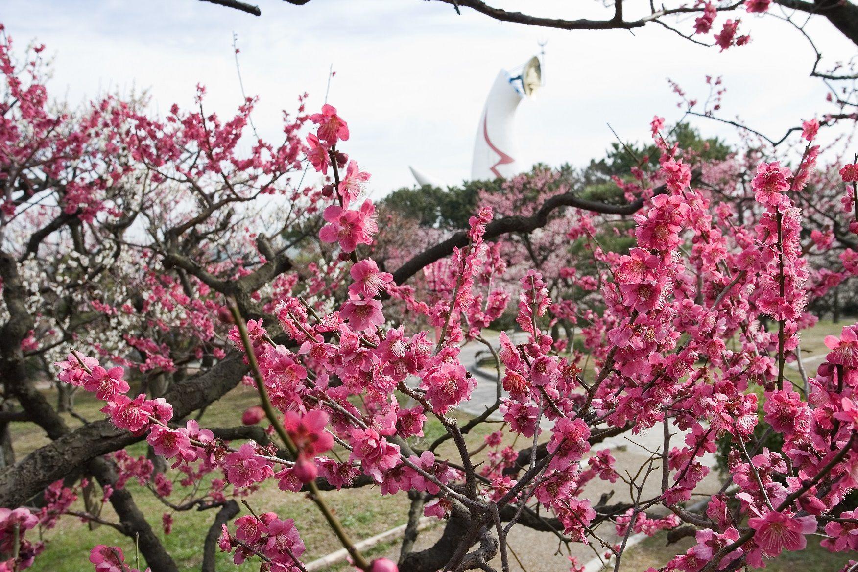 盛開的白、粉、紅色梅花