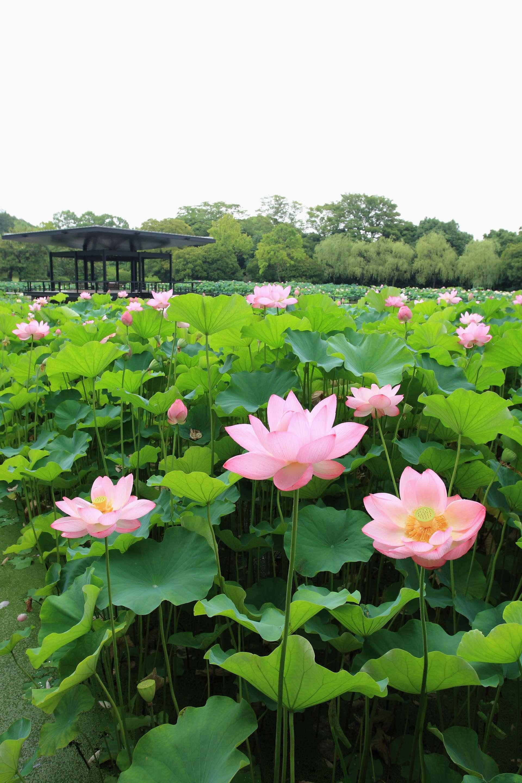 在萬博紀念公園欣賞蓮花,就好像風景畫一般