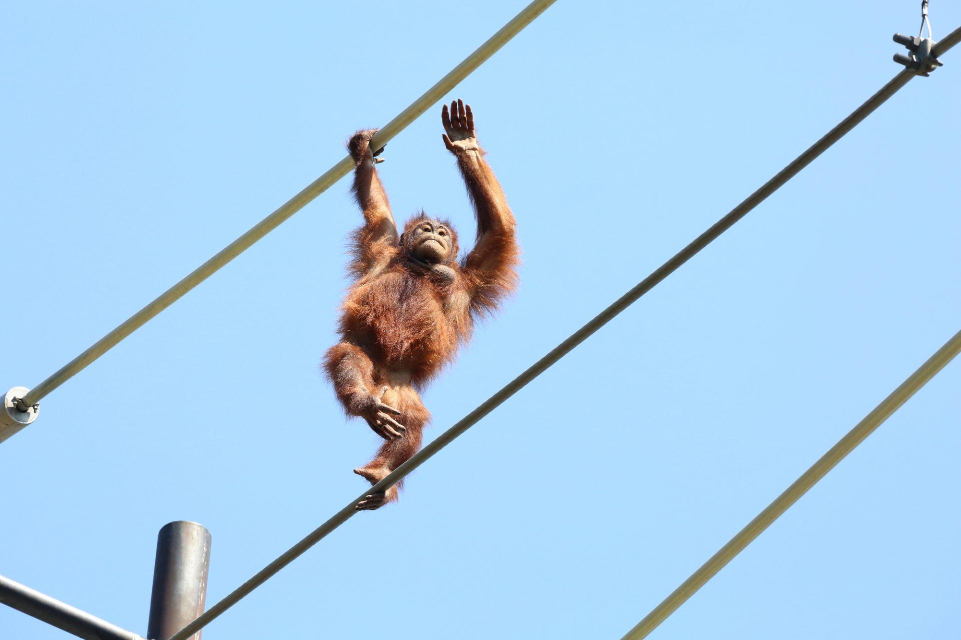 紅毛猩猩的「空中漫步」很有人氣!
