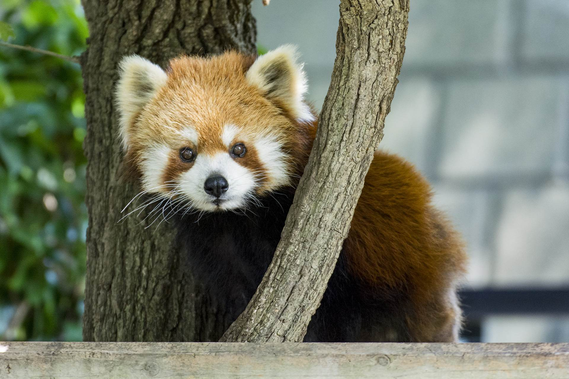 可愛的小熊貓超有人氣!