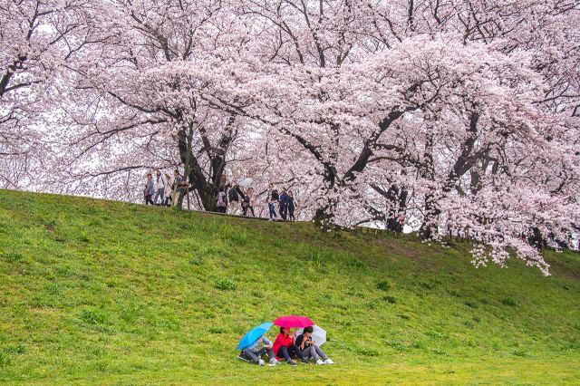 背割堤的樱花