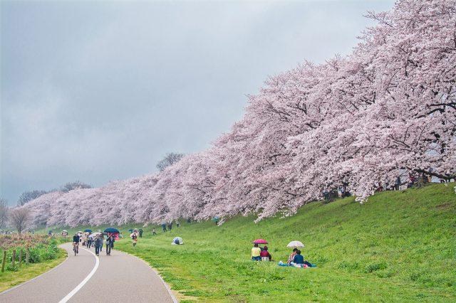 京都赏樱 如诗如画的背割堤