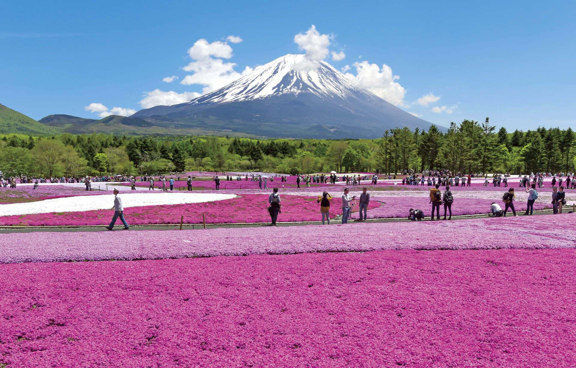 於4月14日開幕的「2018富士芝櫻祭」