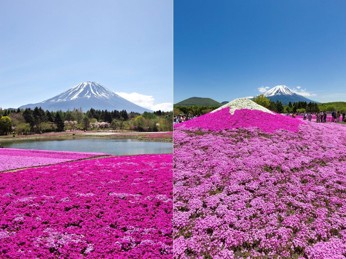 不能錯過的「粉色海洋」和「紅白富士」景色
