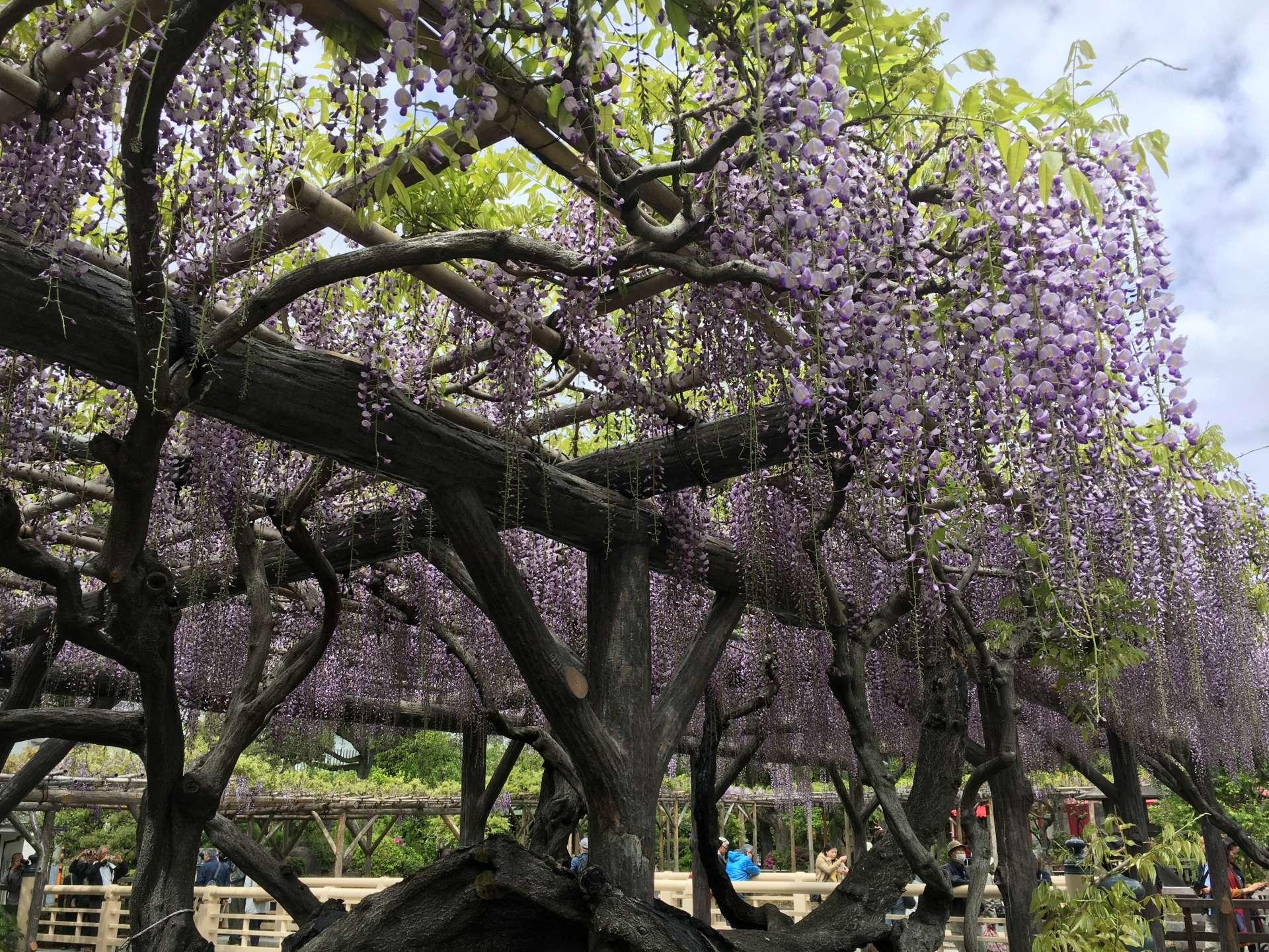 飘逸在棚架上的紫藤散发着淡淡的花香