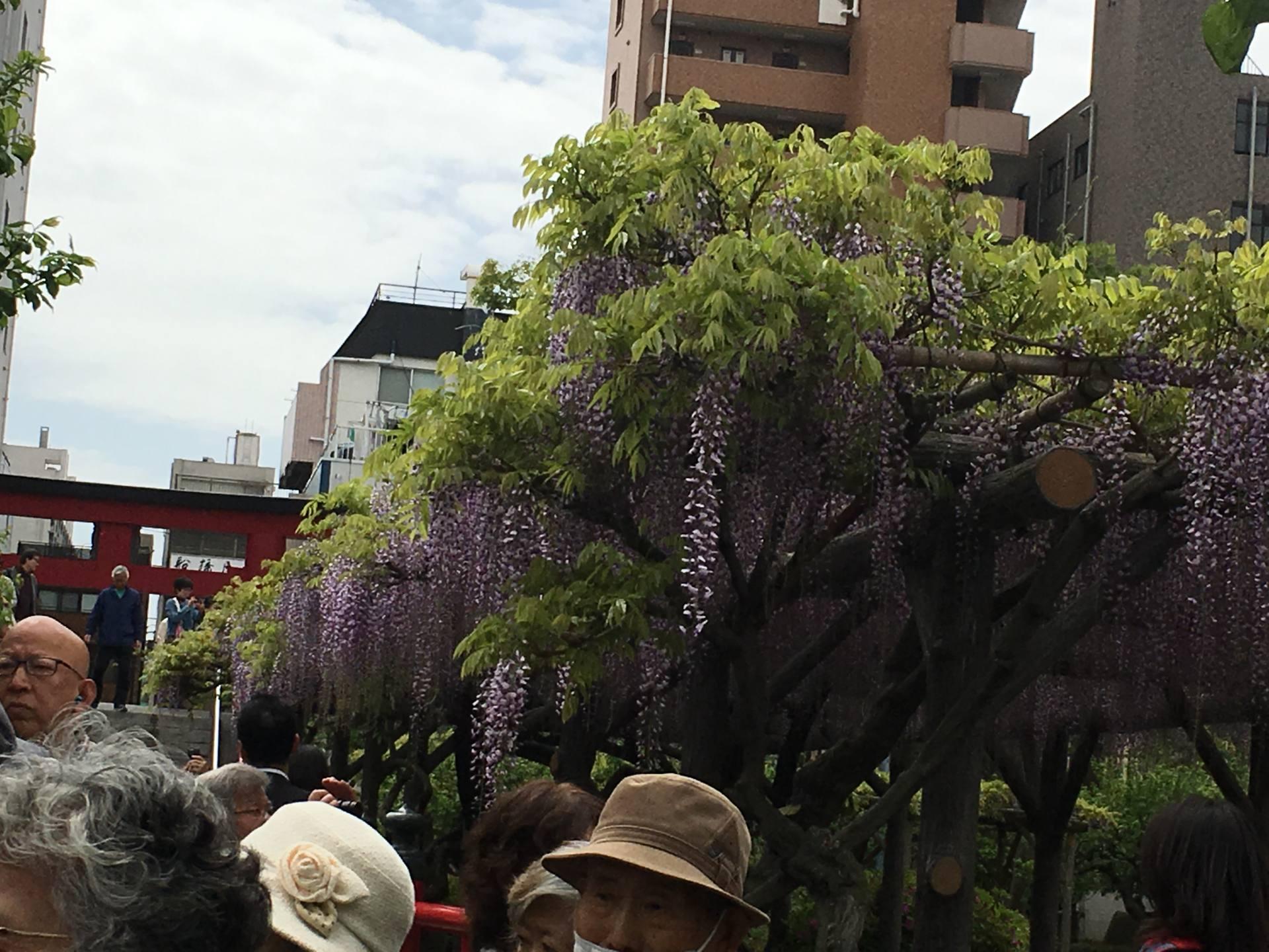 翩翩起舞的紫藤