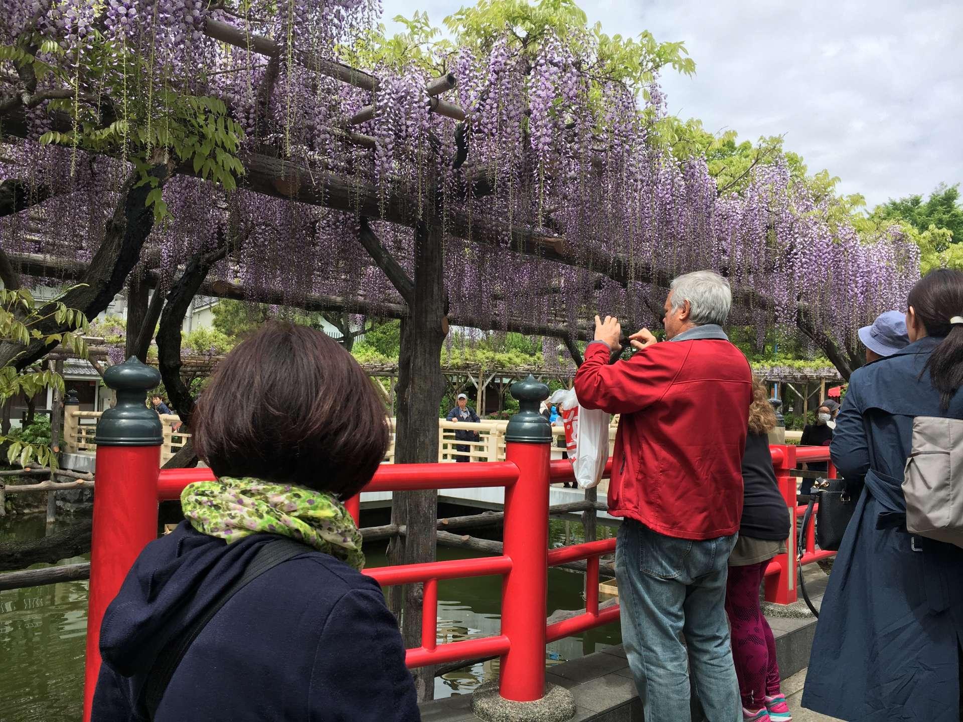平桥两旁的紫藤