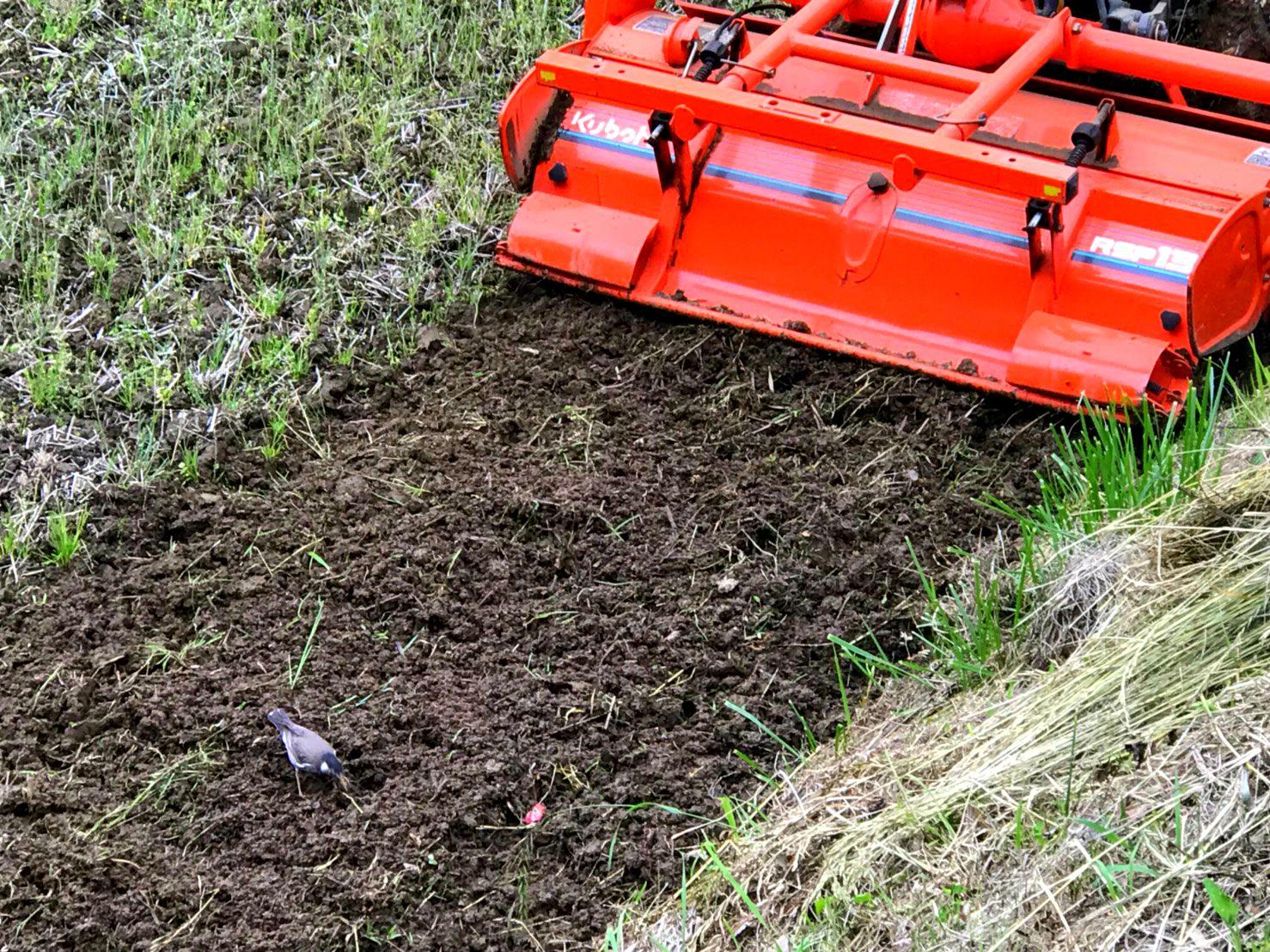 在稻田裡玩耍的小鳥