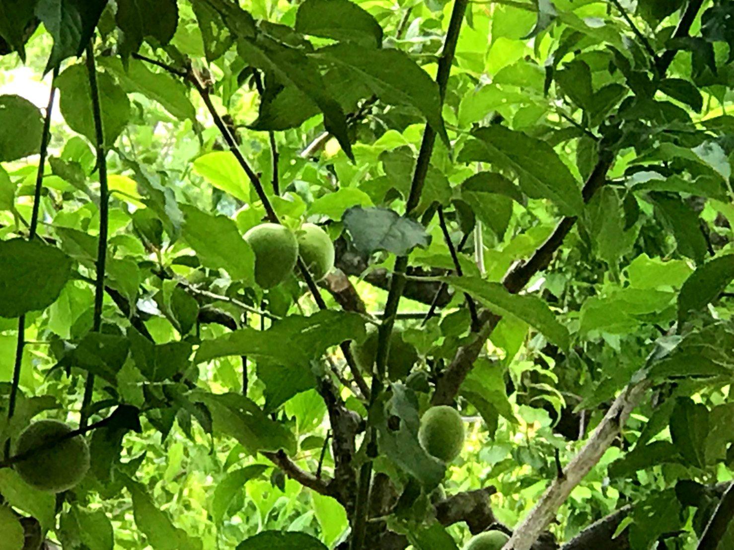 果实累累的梅树