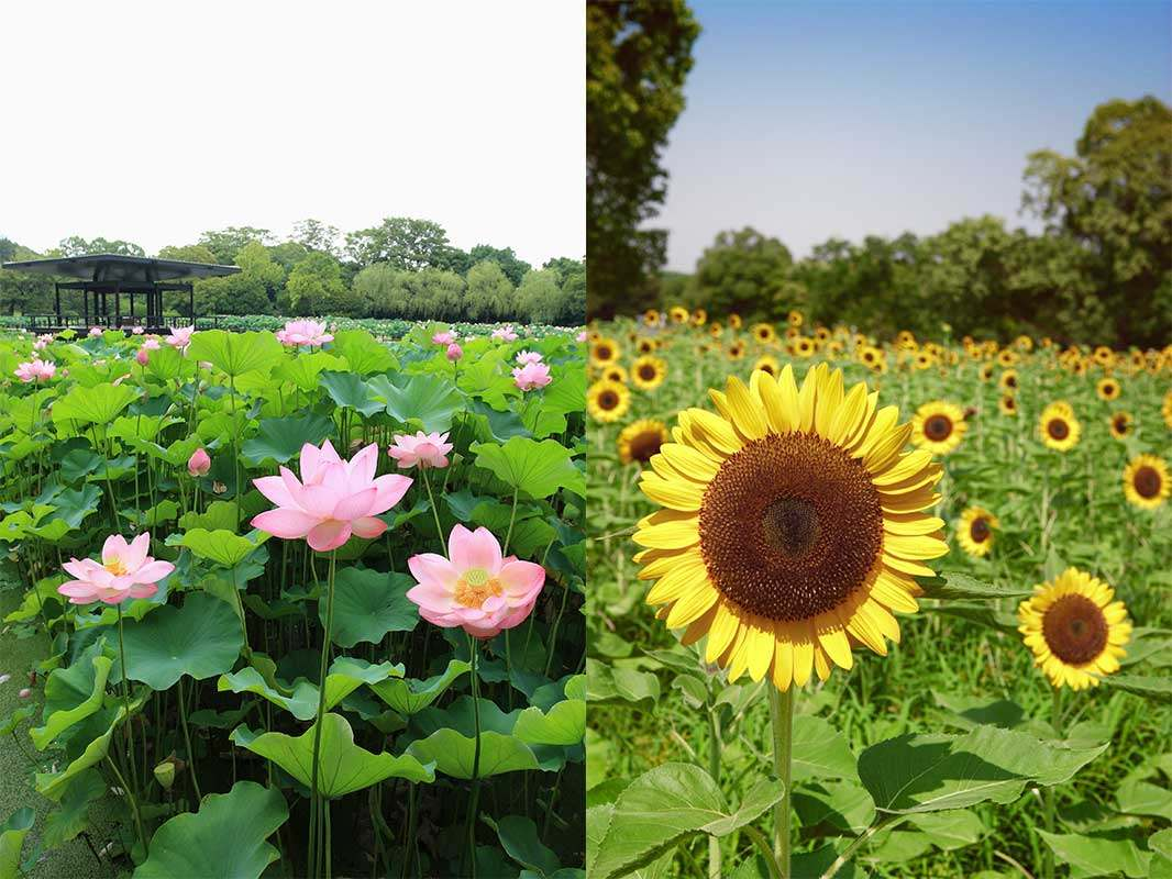 The Lotus and Sunflowers that bloom in summer, from July through August