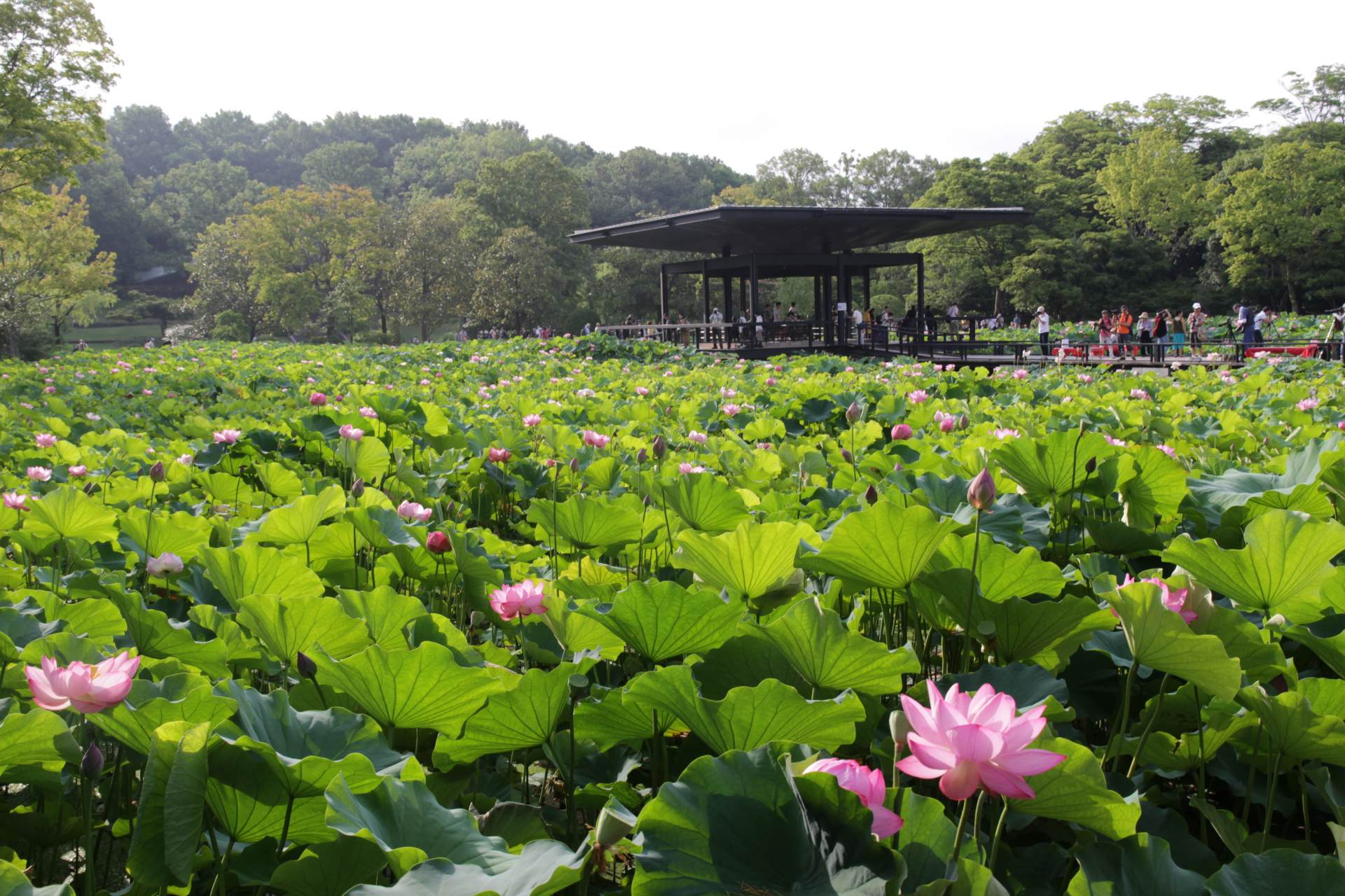 Lotus flowers bloom early in the morning, closing at noon. Visiting in the morning is recommended.