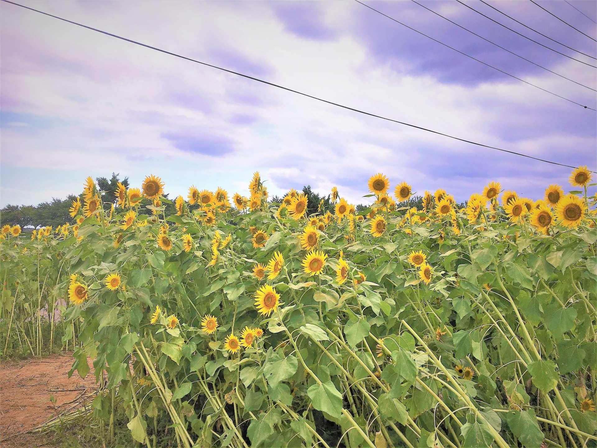 曾經被狂風颳倒刮刀過的向日葵