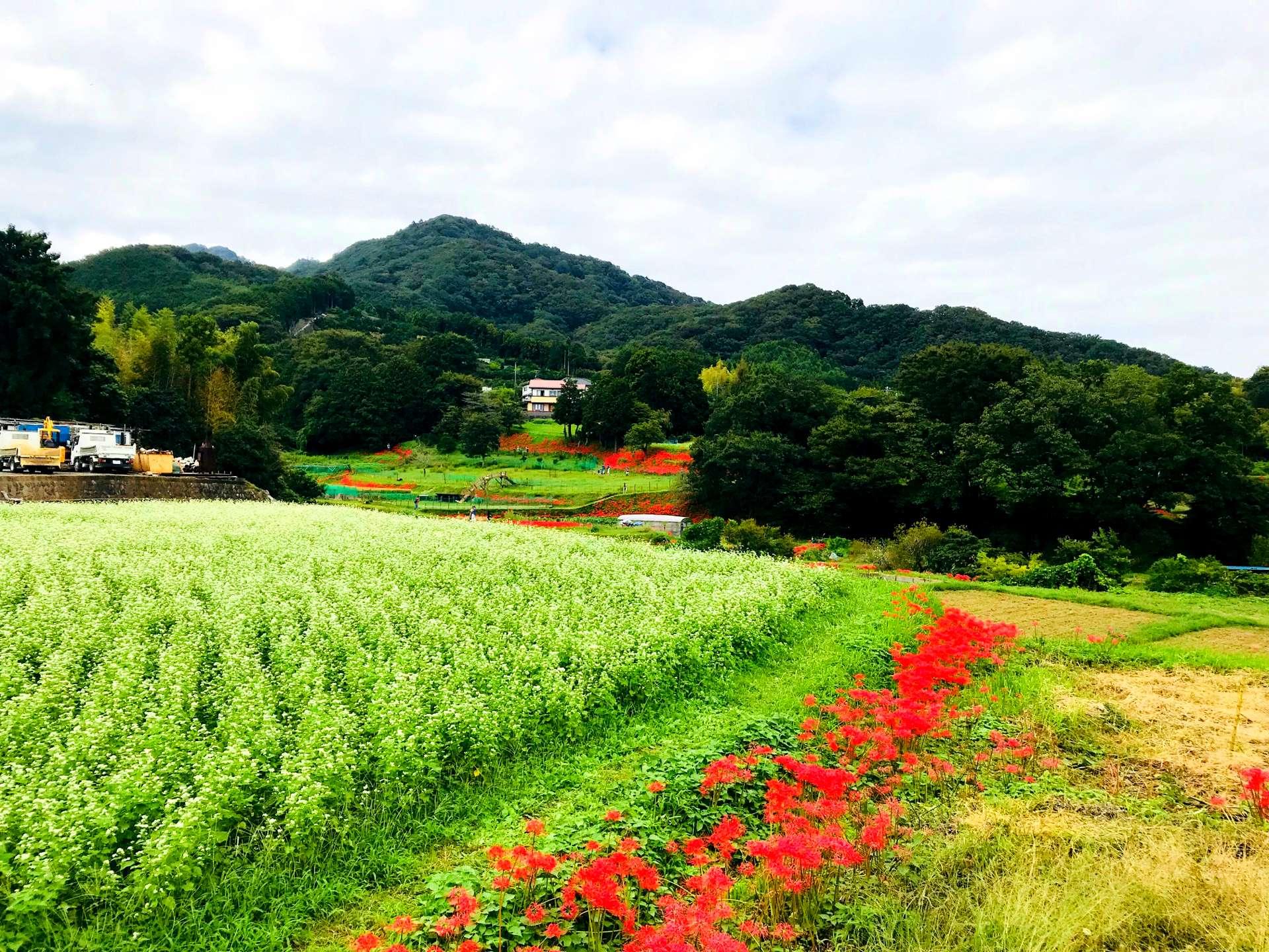 種植在農田周圍的彼岸花